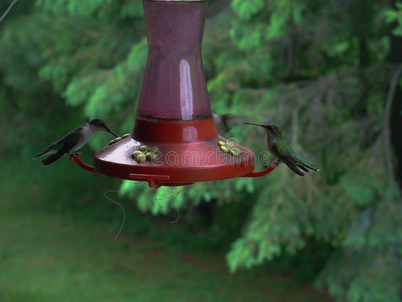 Colibris que alimentam em um alimentador vermelho do colibri no verão em Minnesota imagem de stock royalty free