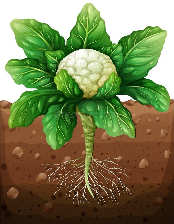Coliflor con las raíces en la tierra stock de ilustración
