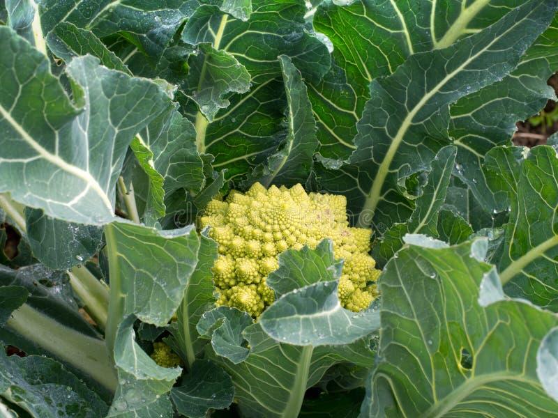 Coliflor del verde de Broccoflower - de Romanesco, de cosecha propia en jardín fotografía de archivo
