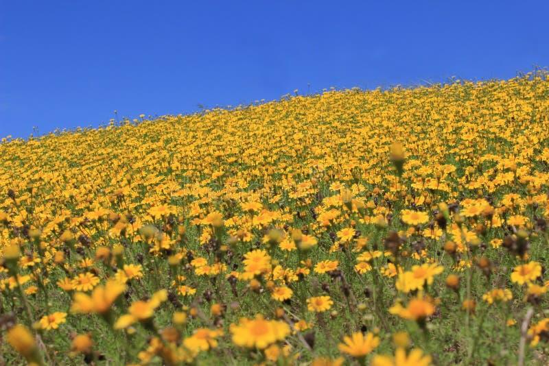 Colina amarilla de la flor de la margarita foto de archivo libre de regalías