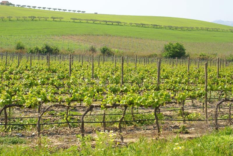 Colina de la planta del vino foto de archivo