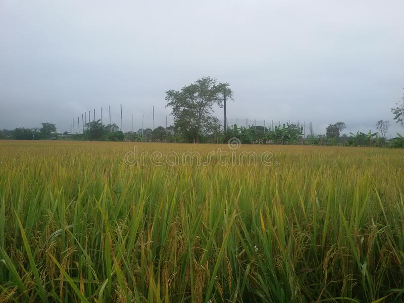 Colina del golf de la mañana en granja del arroz imagen de archivo libre de regalías