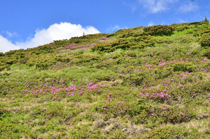 Colina verde del rododendro fotos de archivo
