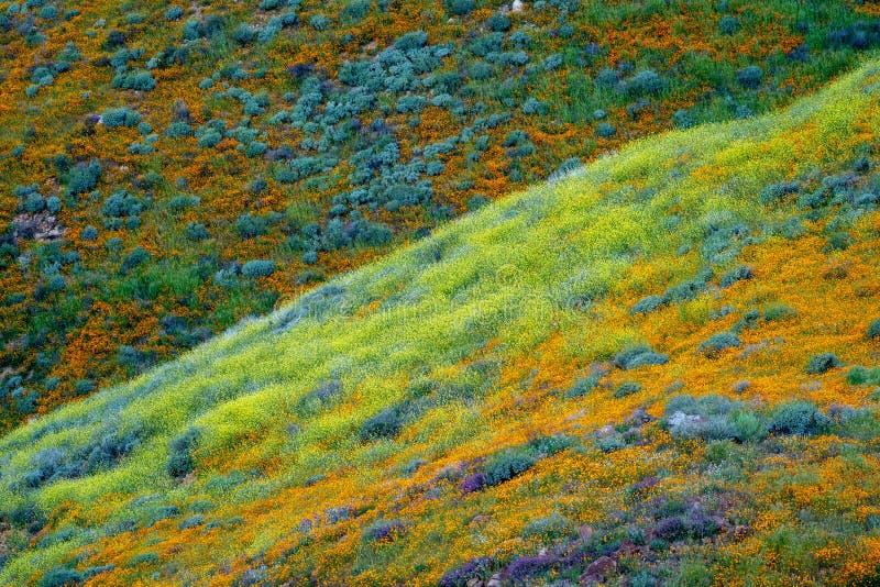 Colinas de amapolas y de otros wildflowers mezclados en Walker Canyon en el lago Elsinore California durante un superbloom de la  foto de archivo libre de regalías