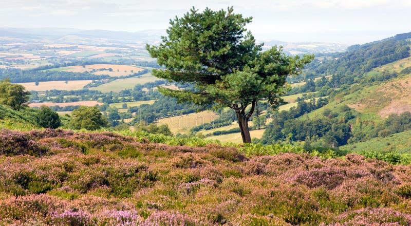 Colinas de Quantock del solo árbol y del brezo púrpura en Somerset fotos de archivo libres de regalías