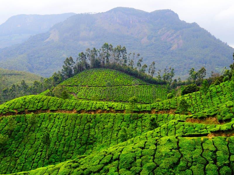 Colinas del té de Munnar imagenes de archivo