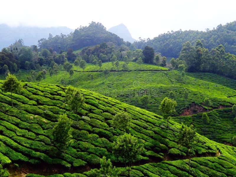 Colinas del té de Munnar fotos de archivo libres de regalías