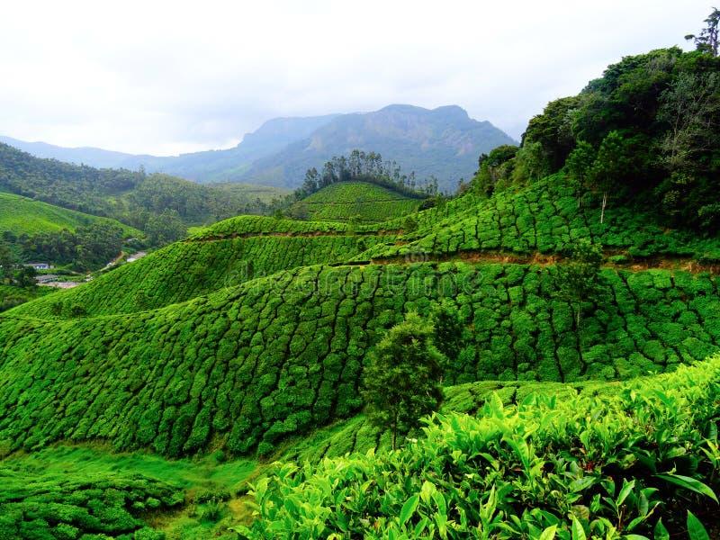 Colinas del té de Munnar foto de archivo libre de regalías