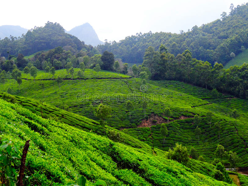 Colinas del té de Munnar fotos de archivo