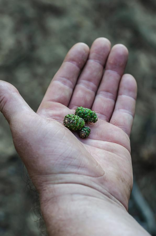 Colisões verdes pequenas na palma Coleção de ingredientes naturais para a fabricação de tinturas medicinais Foco macio imagens de stock royalty free