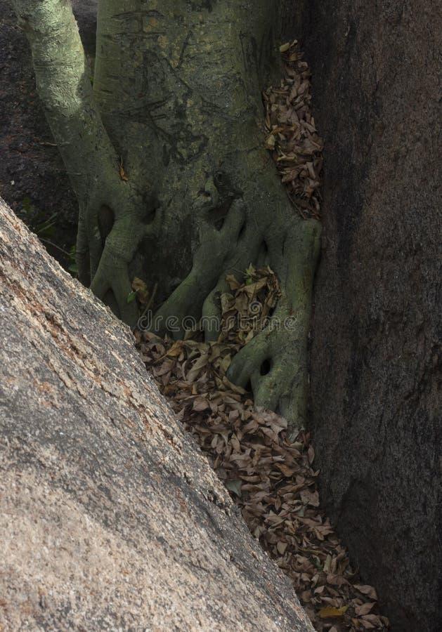 Collé entre une roche et une croissance photos stock
