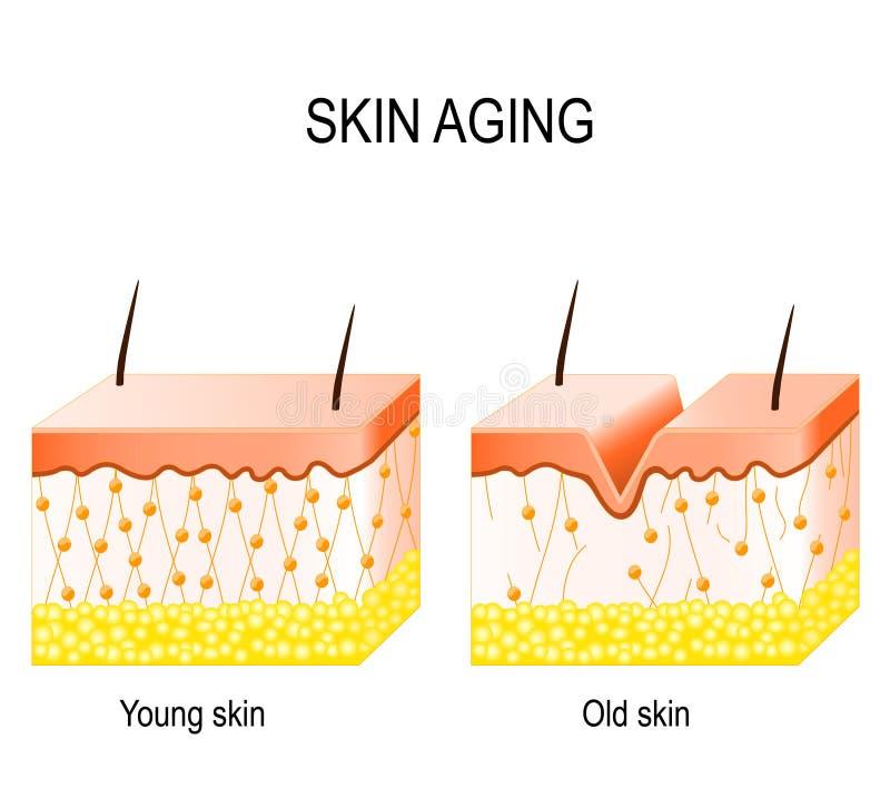 Collagène dans une plus jeune et plus ancienne peau collagène dans plus jeune et d'antan illustration de vecteur
