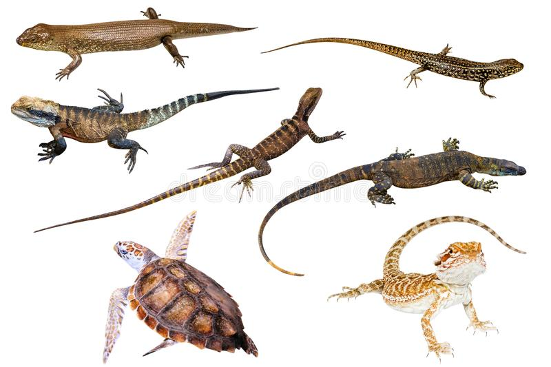 Australian reptiles. Collage of Australian reptiles, on white background. King`s skink, Eastern Water Skink, Water Dragon male and female, Komodo dragon, Green stock illustration