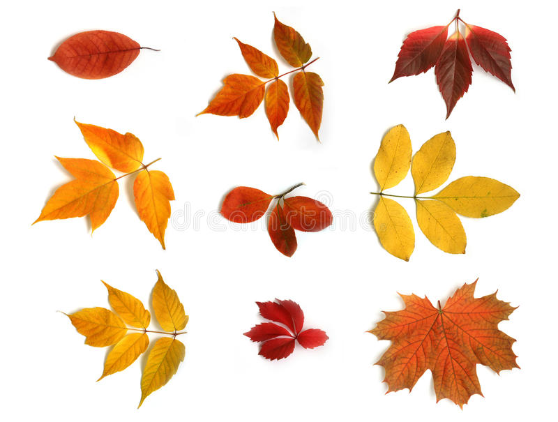 Collage from autumn leaves. Full-size composite photo of various autumn leaves. Isolated on white background royalty free stock photography