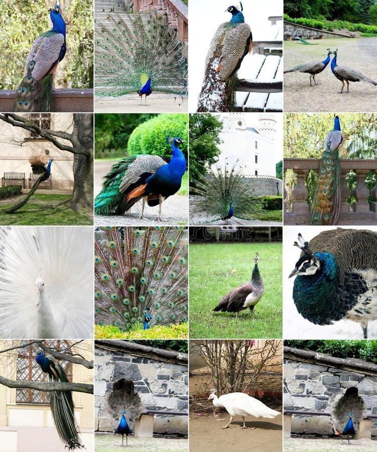 Collage av den härliga påfågeln royaltyfri bild