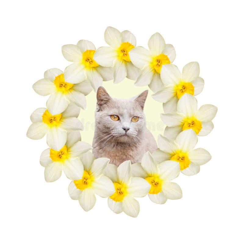 Collage av h?rliga p?skliljablommor med en gr? katt p? en vit bakgrund arkivfoton