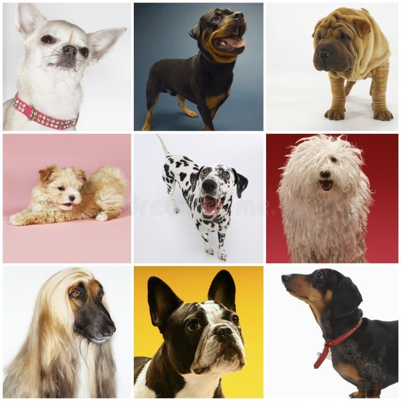 Collage av olik älsklings- hundkapplöpning royaltyfria bilder