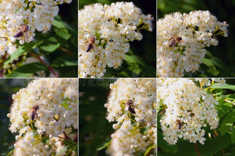 Collage av olika foto av bin som samlar honung arkivfoto