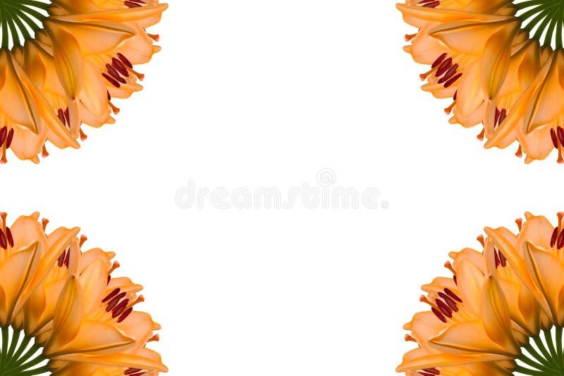 Collage av orange h?rliga liljablommor p? en vit bakgrund royaltyfri fotografi