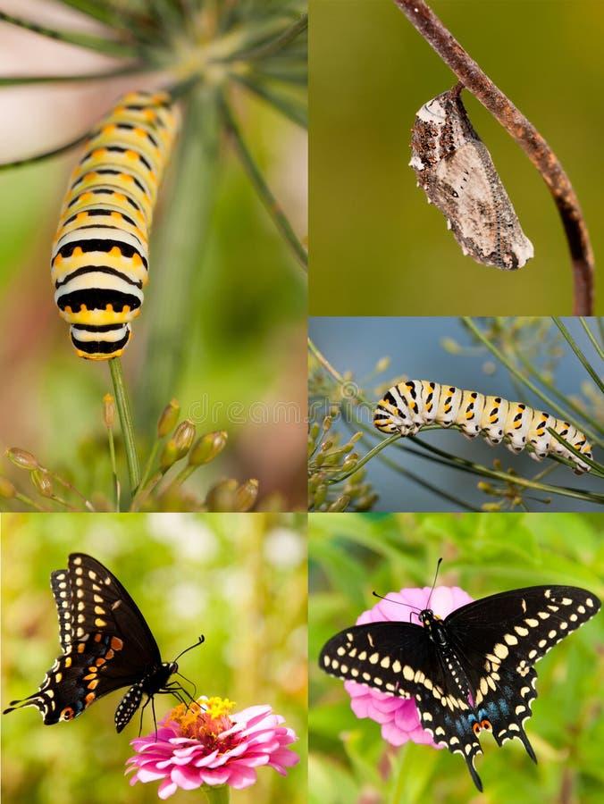 Collage av svart Swallowtail metamorfos fotografering för bildbyråer