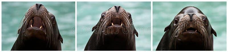 Collage av tre bilder av att skälla för sjölejon royaltyfria bilder