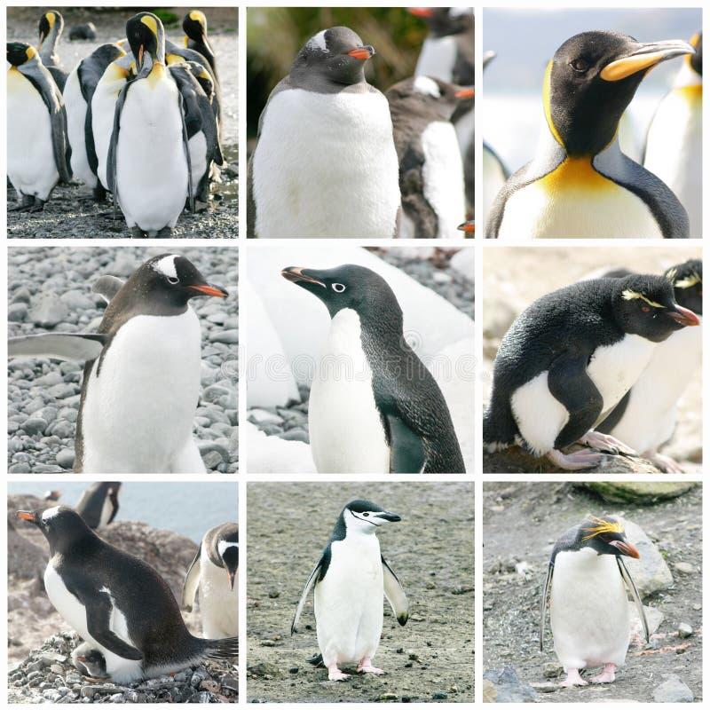 Collage avec différentes espèces de pingouin photo stock