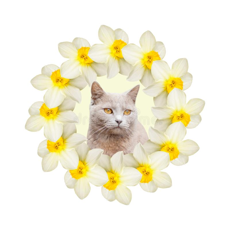 Collage of beautiful daffodil flowers with one gray cat on a white background. Holiday spring card. Floral design stock photos