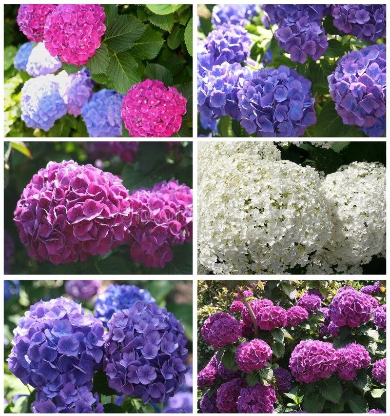 Collage of blooming hortensias in the summer stock photography