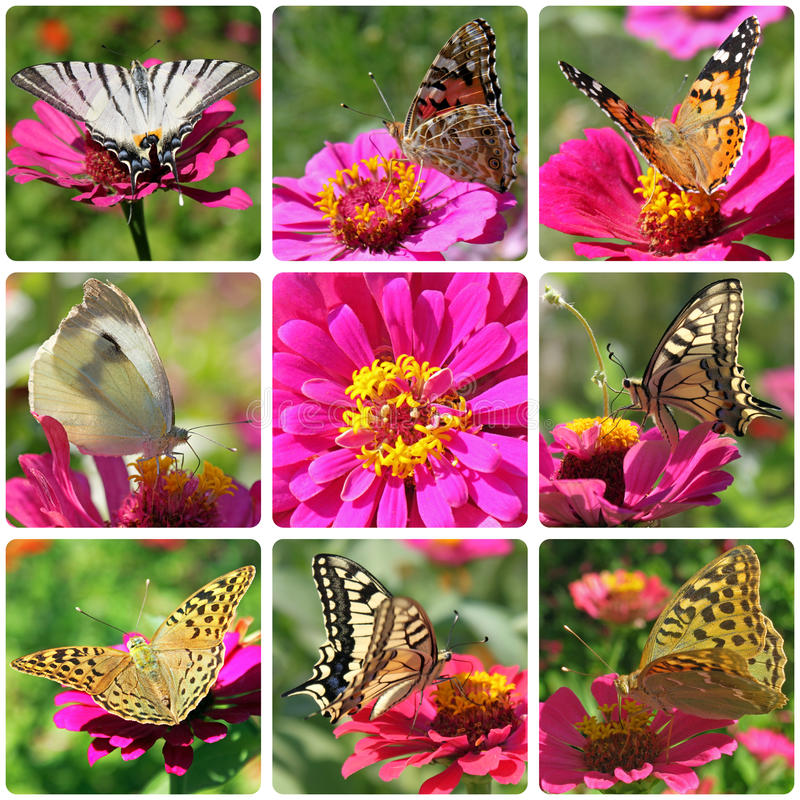 Download Butterflies Sitting On Zinnia Stock Image - Image: 29976795