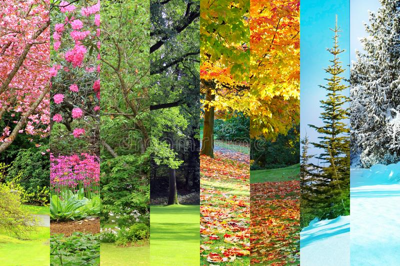 Spring, summer, fall, winter collage. Collage of Cherry, maple, oak and cedfar trees in four seasons. Spring, Summer, Fall, Winter royalty free stock photos