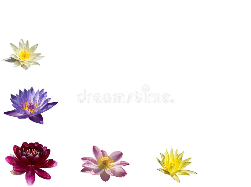 A collage of colorful water lilies and lotuses on white background. Isolated stock image