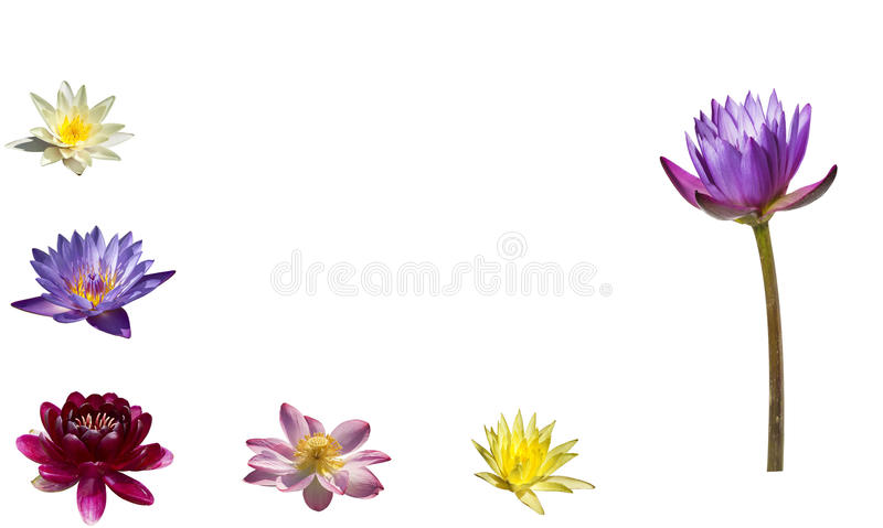 A collage of colorful water lilies and lotuses on white background. Isolated royalty free stock photo