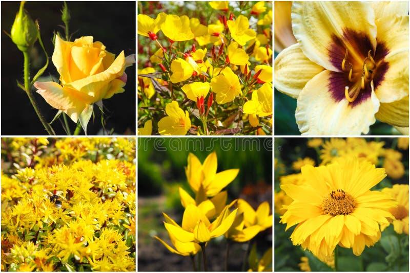 Collage con i bei fiori gialli fotografie stock libere da diritti