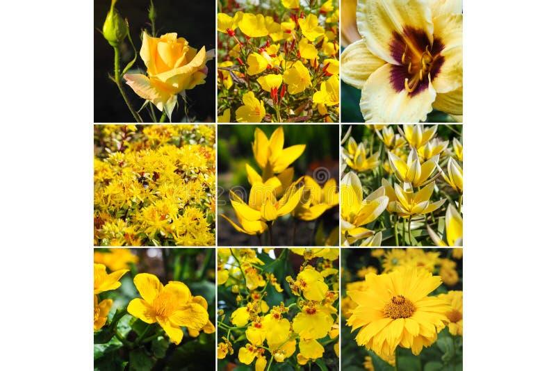 Collage con i bei fiori gialli immagine stock