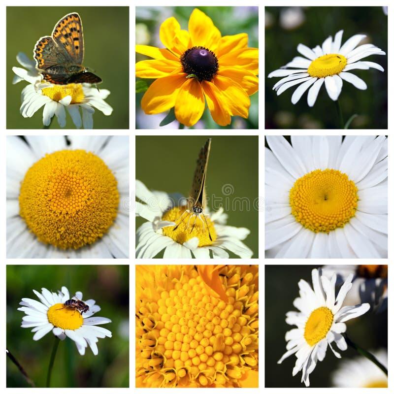 Collage con las flores hermosas del Leucanthemum fotografía de archivo libre de regalías