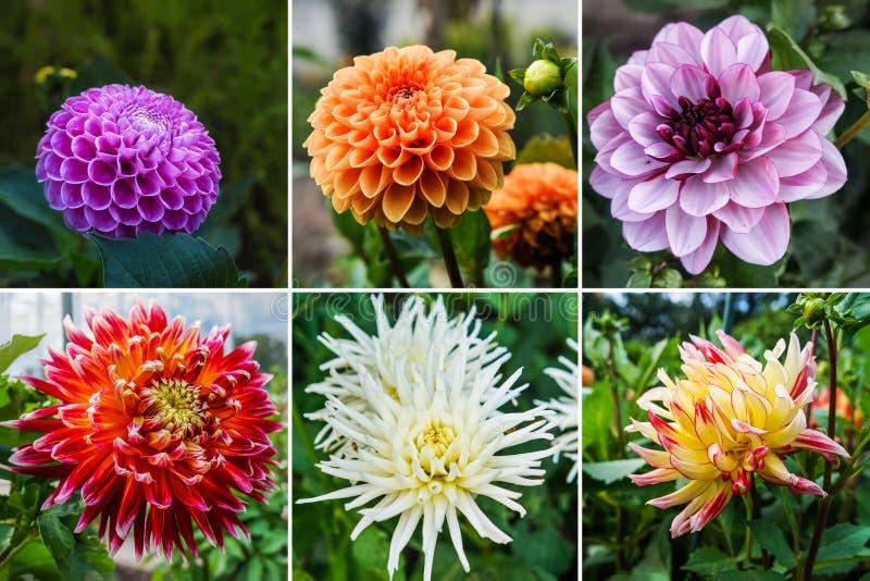 Collage dalle immagini differenti delle dalie dei fiori immagini stock