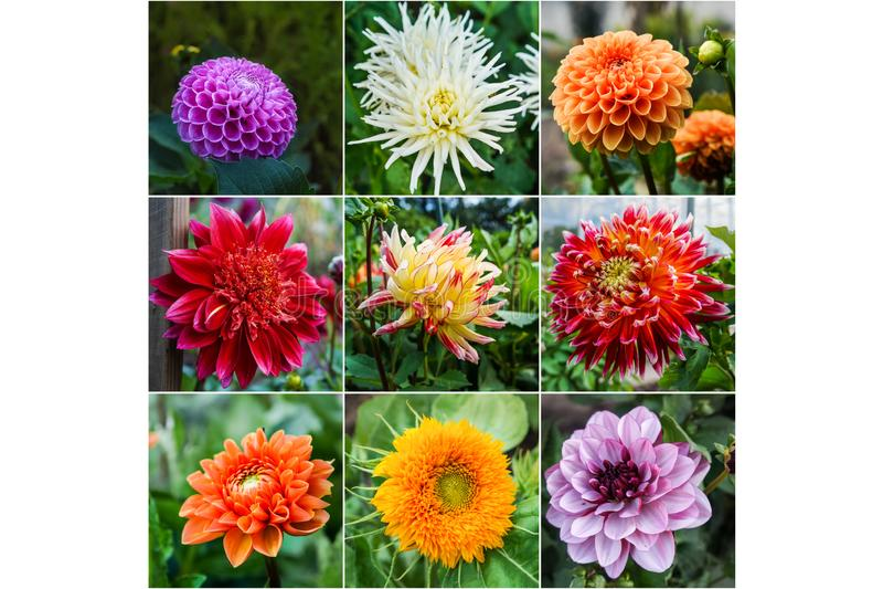 Collage dalle immagini differenti delle dalie dei fiori fotografia stock