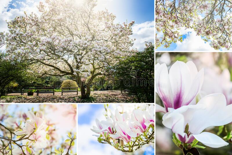 Collage de l'arbre rose de Magnolia photos stock