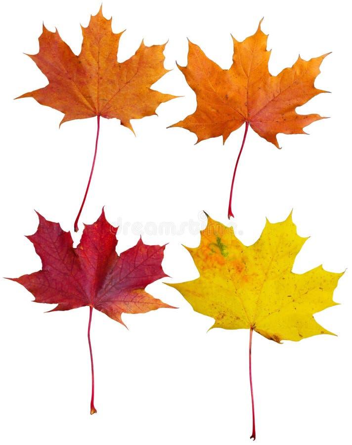 Collage de las hojas de arce foto de archivo