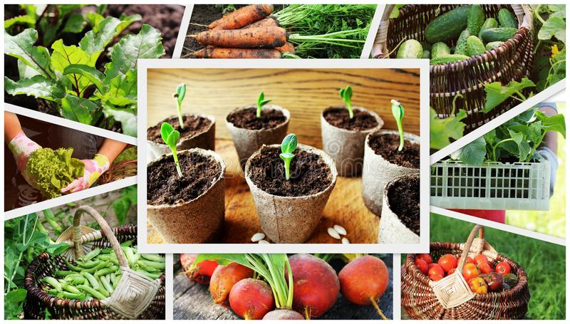Collage de las verduras - productos del huerto fotos de archivo