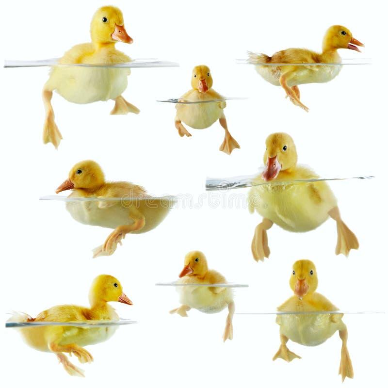 Collage de los anadones lindos que flotan en agua fotos de archivo libres de regalías
