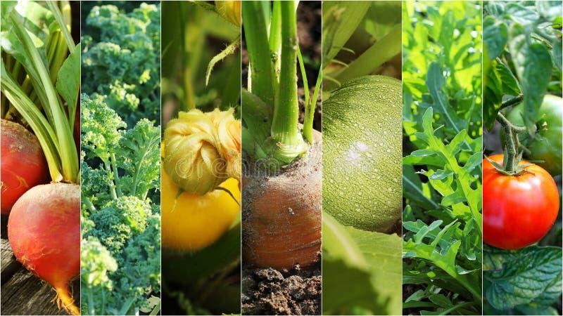 Collage de verduras orgánicas frescas Concepto sano de la consumición Fondo que cultiva un huerto imagenes de archivo