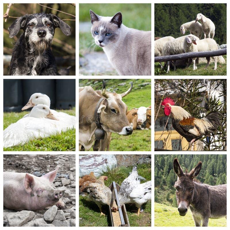 Collage degli animali da allevamento fotografia stock libera da diritti