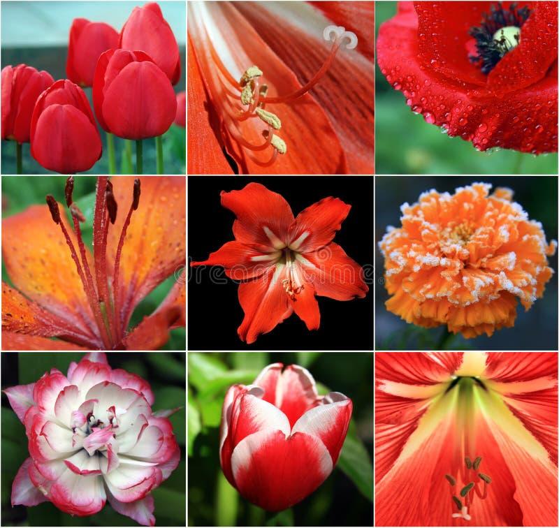 Collage dei fiori rossi fotografia stock libera da diritti