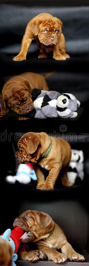 Collage del cucciolo di Dogue de Bordeaux fotografia stock