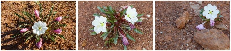 Collage del fiore dell'enagra del deserto immagini stock libere da diritti