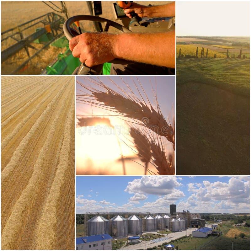 Collage del raccolto del grano fotografia stock