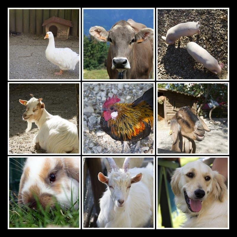 Collage dell'azienda agricola di animali fotografie stock