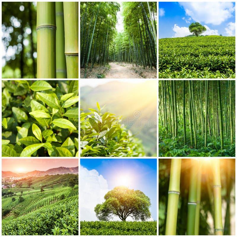 Collage delle foto con la foresta e la piantagione di bambù fotografie stock libere da diritti