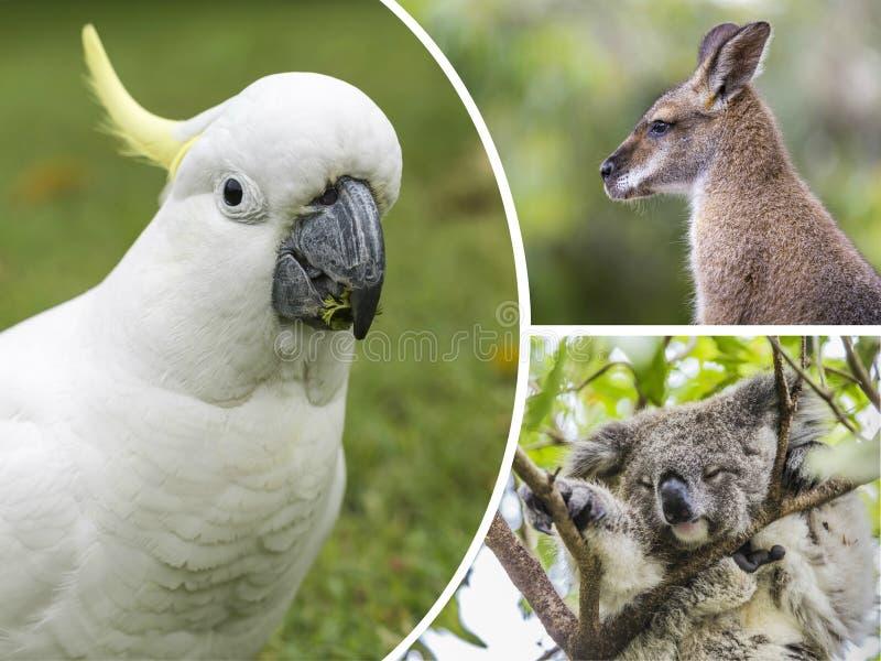 Collage des animaux de l'Australie - fond de voyage (mes photos image stock